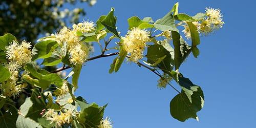 дерево цветет
