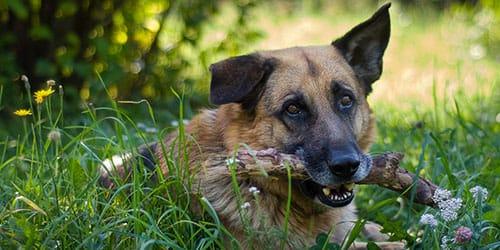 служебный пес