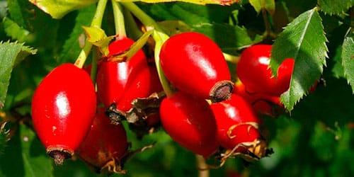 плоды кустарника