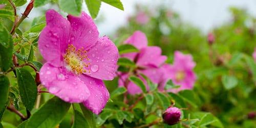 видеть во сне цветущий шиповник