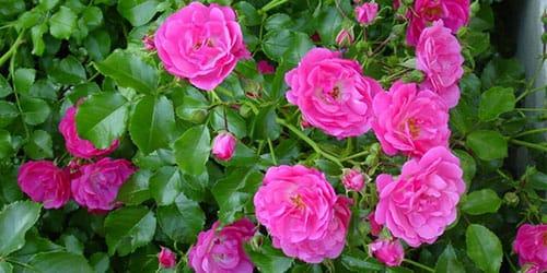 кустарник цветет