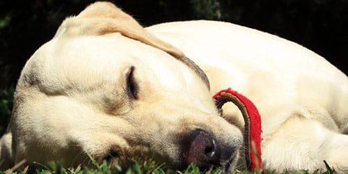 к чему снится своя умирающая собака