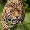 видеть во сне ягуара