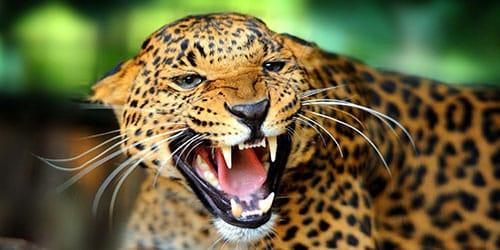 к чему снится нападение ягуара