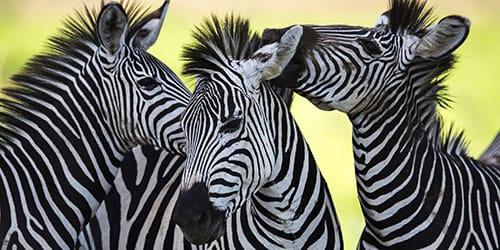 видеть во сне зебру