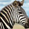 к чему снится зебра
