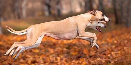 к чему снятся большие бегущие собаки