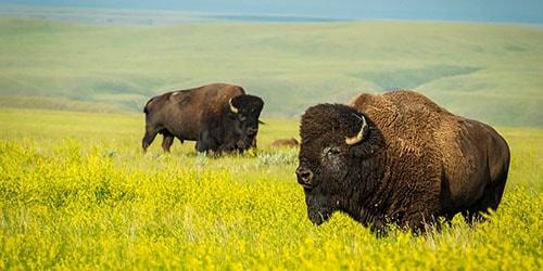 к чему снится пасущийся бизон