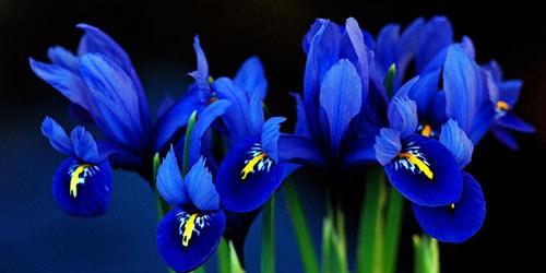 к чему снятся синие цветы ирисы