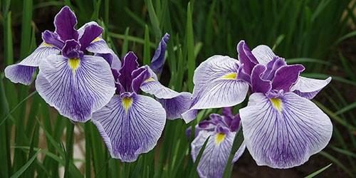 видеть во сне цветы ирисы