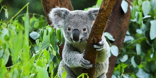 видеть коалу на дереве во сне