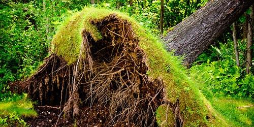 к чему снятся вырванные корни деревьев