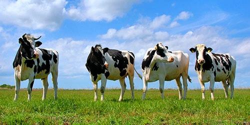 видеть во сне коровье говно