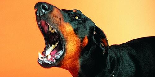 к чему снится черная лающая собака