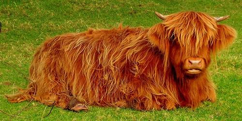 видеть во сне рыжего быка