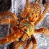 убить рыжего паука во сне