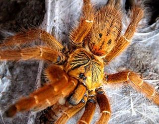 К чему снится рыжий паук?