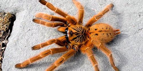 к чему снится большой рыжий паук