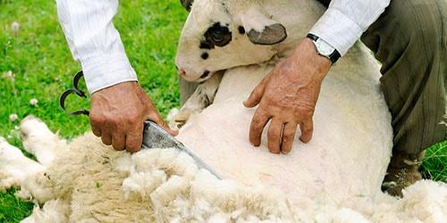 к чему снится шерсть овцы