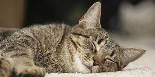 к чему снится спящая кошка