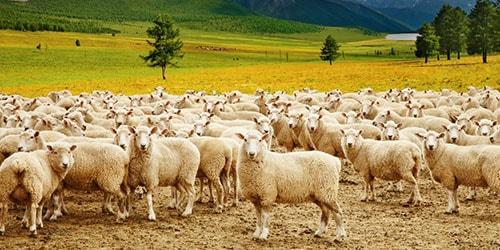 пасти стадо овец во сне