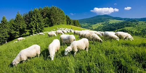 пасутся овцы