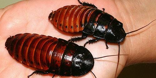 к чему снятся тараканы на теле