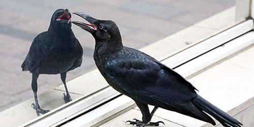 к чему снится что ворона стучит в окно
