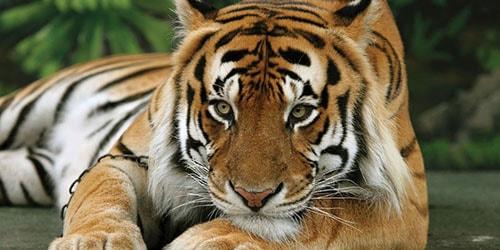 видеть во сне доброго тигра