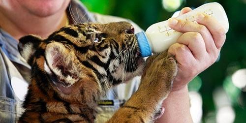 кормить тигренка