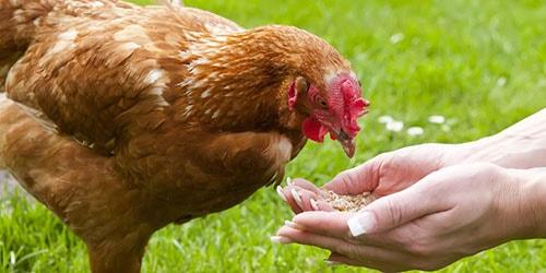 кормить курицу
