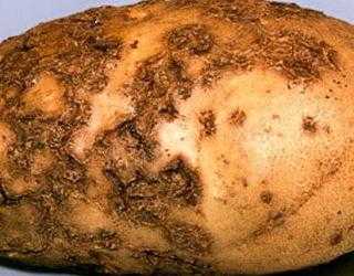 Гнилая картошка