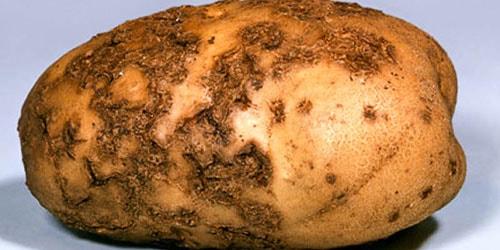 видеть во сне гнилую картошку
