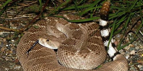 видеть гремучую змею во сне