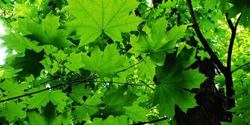 к чему снится зеленый клен
