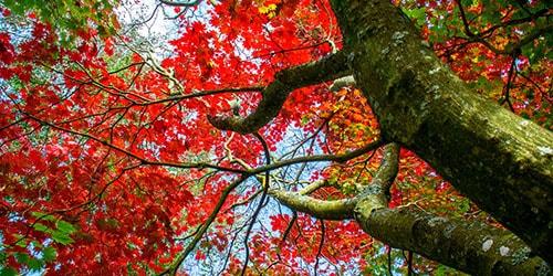 видеть во сне дерево клен