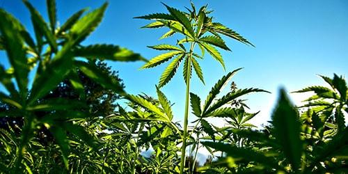 Сонник к чему сниться конопля марихуана выводится крови
