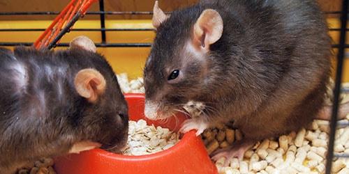 к чему снится кормить крыс