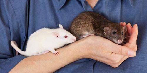 кормить крыс во сне