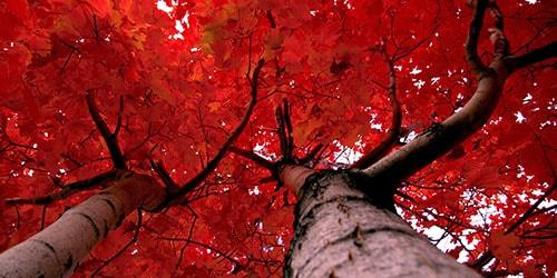 видеть во сне красное дерево
