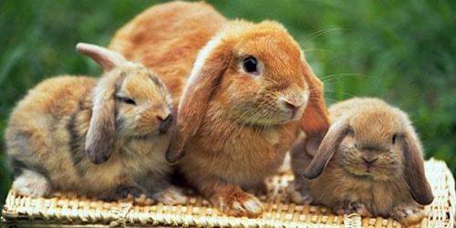 видеть во сне крольчиху с крольчатами