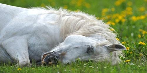 белая лошадь спит