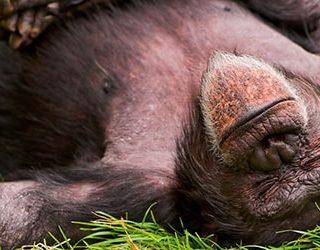 Мертвая обезьяна