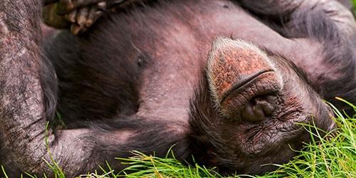 к чему снится мертвая обезьяна