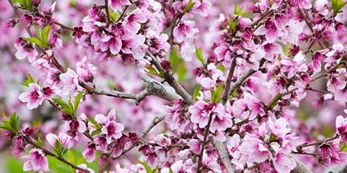 к чему снится цветущее миндальное дерево