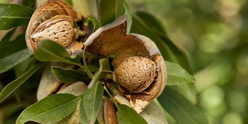 орехи на дереве