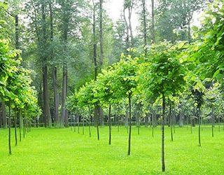 Молодые деревья