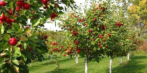 к чему снятся молодые деревья с плодами