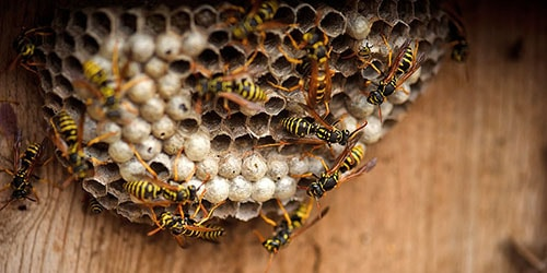 к чему снится осиное гнездо в доме