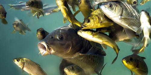 приснилось много рыбы женщине